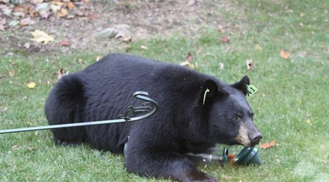 Bear%20Euthanized%20After%20Entering%20Lake%20Tahoe%20Condo%20%7C%20NBC%20Bay%20Area